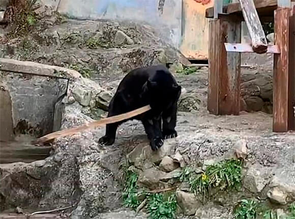 Гималайский медведь показывает кунг-фу. Видео