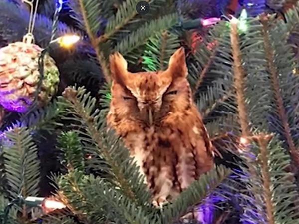 сова, елка