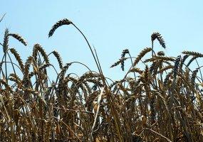 На Кубани аграрии обеспечены семенами ранних яровых на 90%