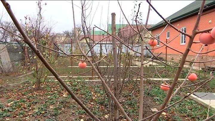 В Усть-Лабинском районе пенсионер вырастил экзотические фрукты