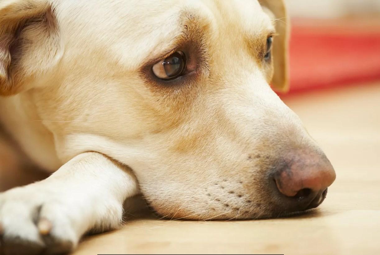 Защити питомца: Новый год может довести собаку до сердечного приступа