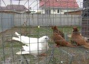 В Усть-Лабинске мужчина 38 лет выращивает у себя во дворе голубей