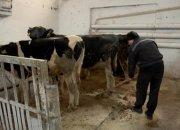 На базе ИК-2 в Усть-Лабинском районе открыли ферму крупного рогатого скота