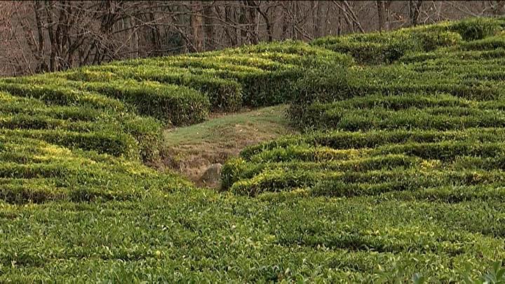 В 2020 году на Кубани планируют реконструировать 85 га чайных плантаций