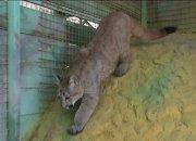 Пума по кличке Миссури прибыла в один из зоопарков Темрюкского района