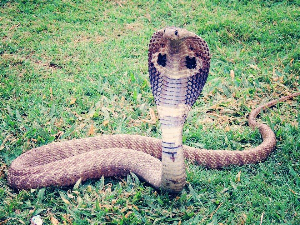 коронавирус, змей, вирус, ухань