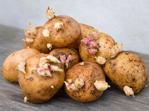 проросший картофель, соланин, яд, картошка