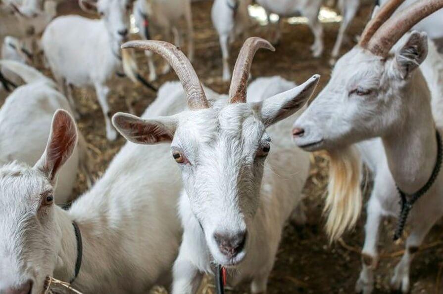молока, рака, молоко, коз, козы, ГМО, генномодифицированный