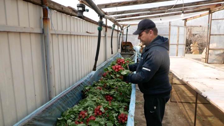 В Краснодарском крае с начала года собрали 6 тыс. тонн тепличных овощей