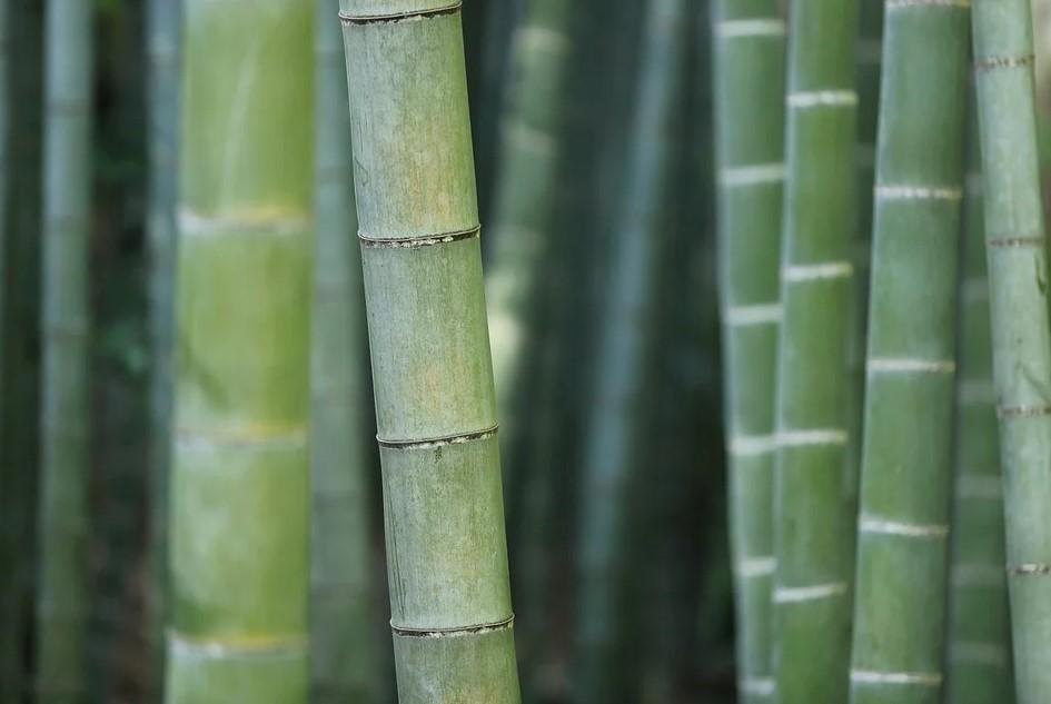 бамбук, ученые, токсины