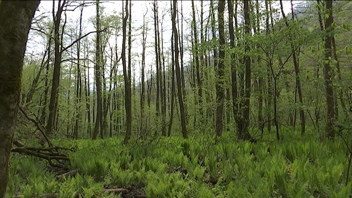 В Кавказском заповеднике начали восстанавливать исчезающие каштановые леса