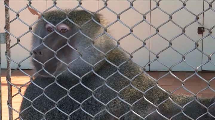 В Сочи институт приматологии готов отдать обезьян для тестов вакцины от COVID-19