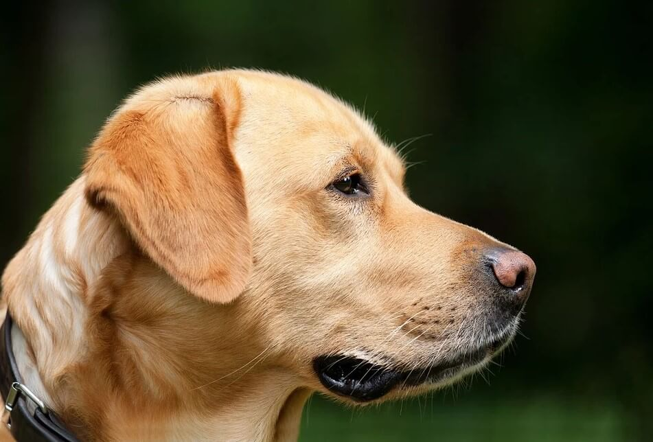 собаки, коронавирус, COVID-19