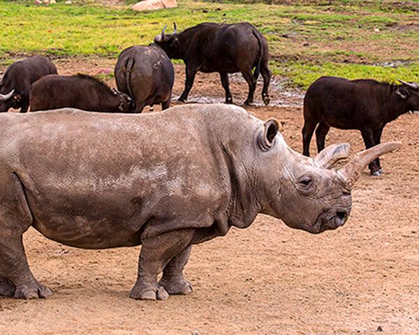 карантин, носорог
