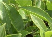 На плантациях в Сочи начался массовый сбор чая