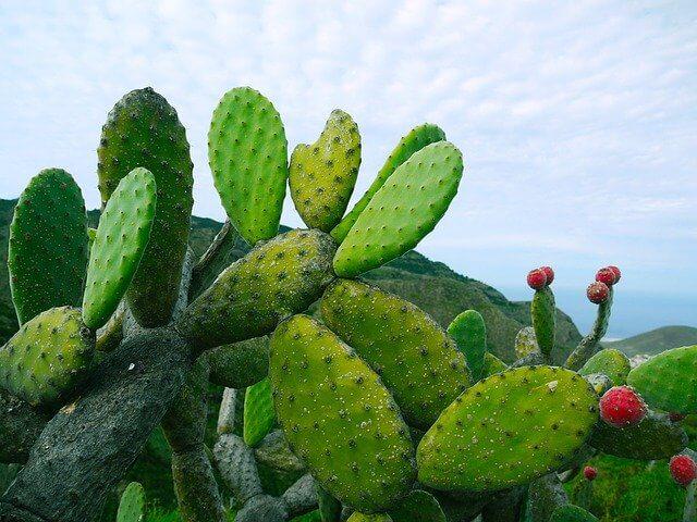 В Мексике начали производить экологичную искусственную кожу из кактуса