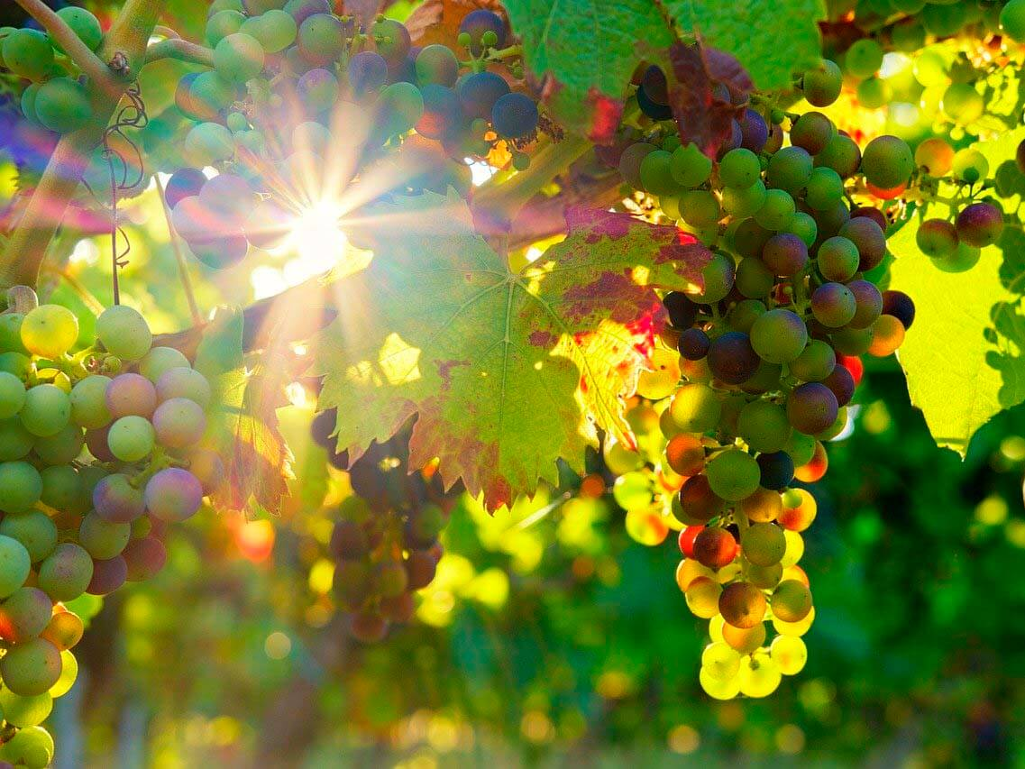 grapes-3550729_1280