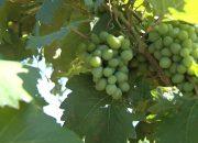 На Кубани готовятся к уборке винограда
