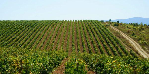 В 2020 году кубанские аграрии собрали более 193 тыс. тонн винограда