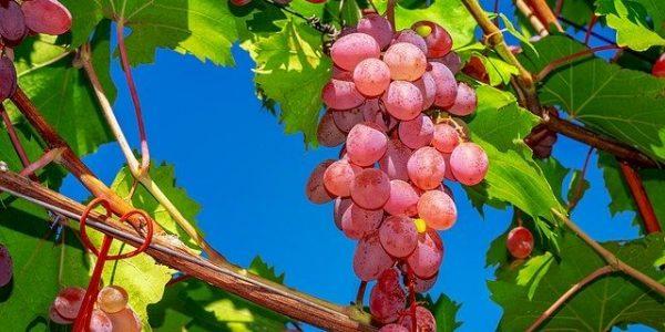 Сахар и медь: агроном предупредил о вреде винограда
