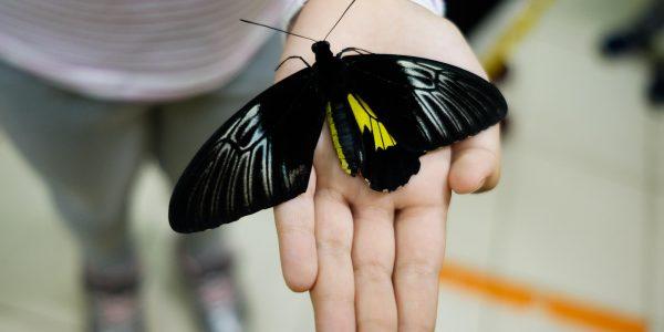 В Усть-Лабинске на выставке тропических бабочек кормят апельсинами. Фоторепортаж