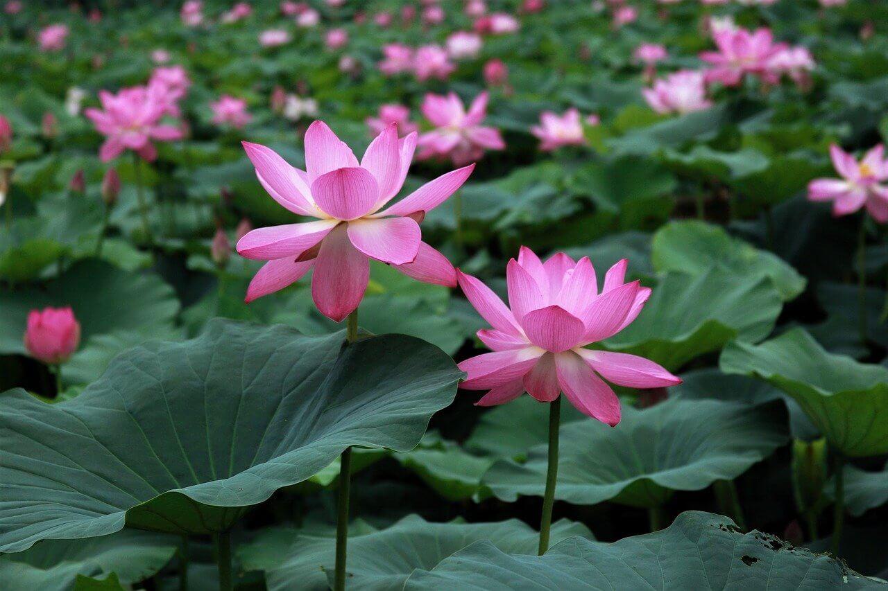 lotus-3449597_1280