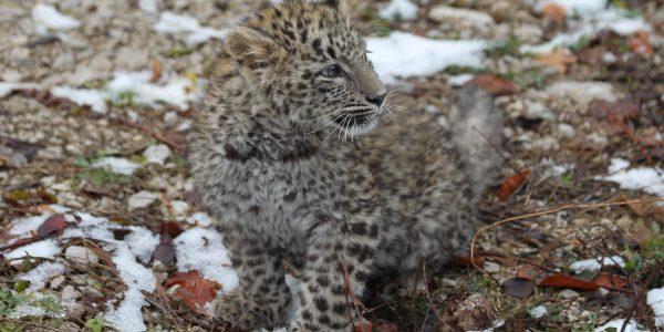 Родившегося в Сочи котенка леопарда назовут Лео