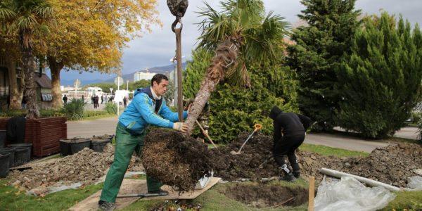 В Геленджике пересадили веерные пальмы из кадок в открытый грунт