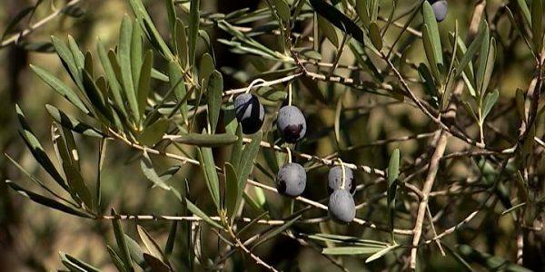 В Сочи поспели плоды на экзотических растениях