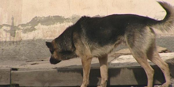 В Анапе разыскивают мужчину, скормившего бездомной собаке вместе с мясом петарду