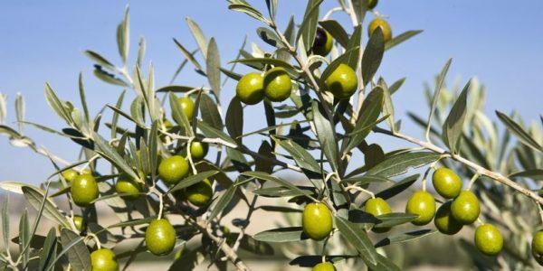 В сочинском Дендрарии созрели плоды на вечнозеленой оливе — символе мира