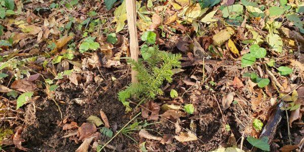В Сочинском нацпарке начали восстанавливать реликтовый лес ягодного тиса