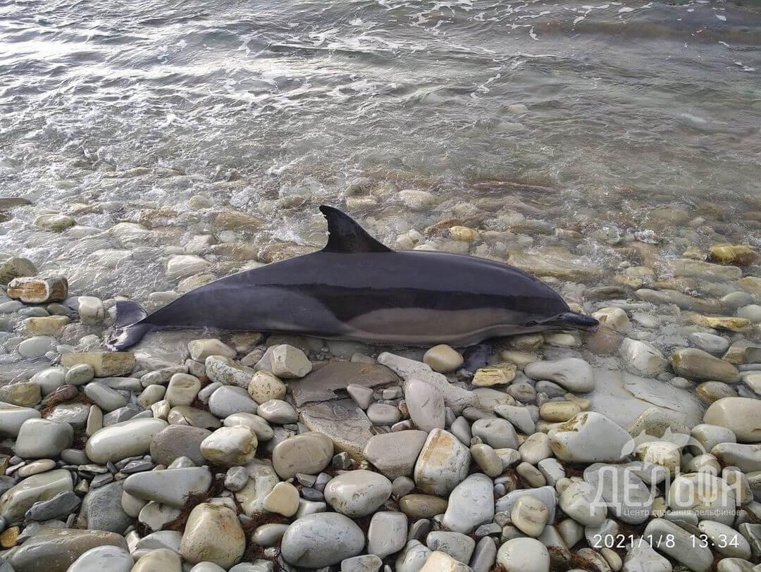 В Геленджике из-за траловых сетей с начала года погибли семь дельфинов