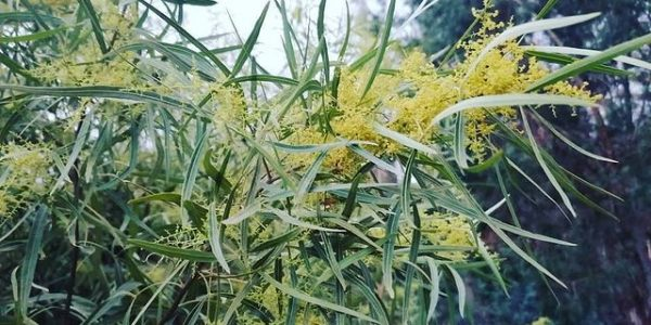 В Сочи зацвело редчайшее растение в России