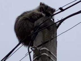 В Краснодаре енот залез на столб и просидел на нем несколько часов