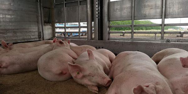 В Ейске в 2021 году построят свиноводческий селекционно-генетический центр