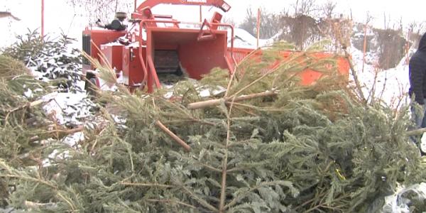 В Краснодаре утилизировали около 100 куб. м новогодних елок