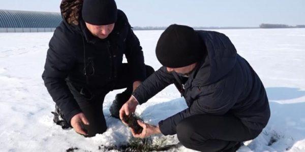 Аграрии: слой снега на Кубани защитит озимые от низких температур