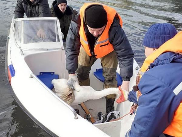 В Горячем Ключе раненого лебедя в озере удалось поймать только с помощью катера