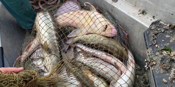 На Кубани пограничники задержали браконьеров с русскими осетрами