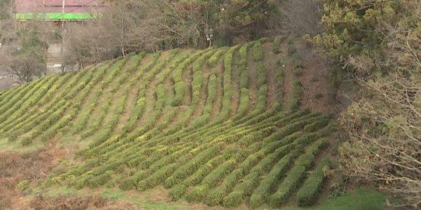 В Сочи ведется мониторинг заброшенных чайных плантаций