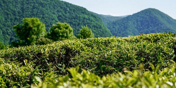 На развитие чаеводства в Сочи из краевого бюджета выделили 7 млн рублей