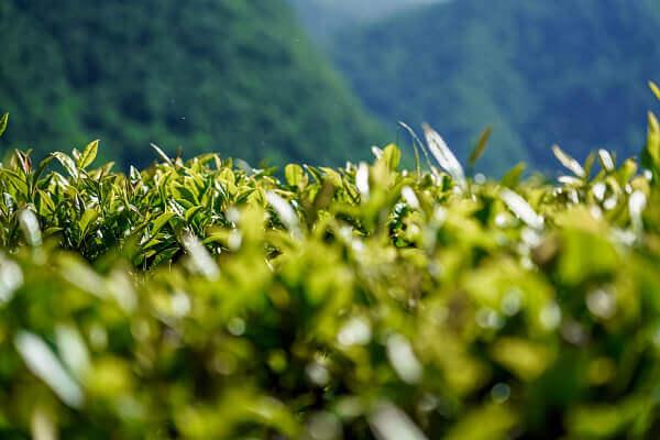 На Кубани урожай чая планируют увеличить на 40%
