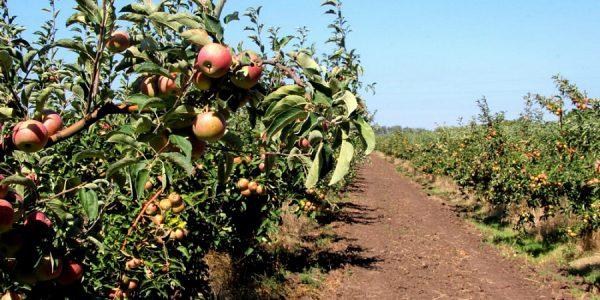 Ейское плодоводческое хозяйство будет внедрять бережливые технологии
