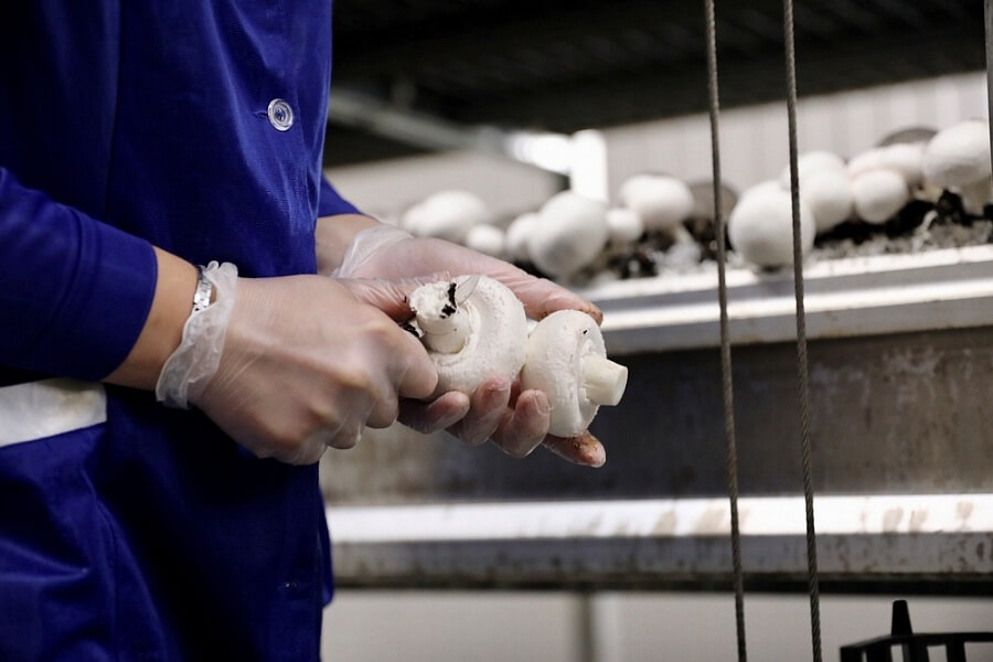 Кондратьев: на Кубани за год почти в два раза увеличилось производство грибов