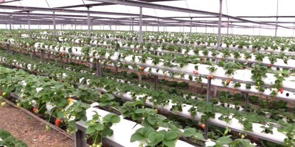 В Славянском районе поспел первый урожай клубники