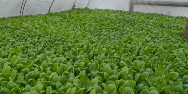 На Кубани семейное фермерское хозяйство выращивает пекинскую капусту