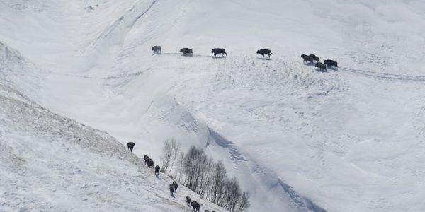 В Кавказском заповеднике посчитали зубров, зимующих на горных лугах