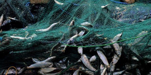 На Кубани рыболовную компанию оштрафовали на 48 млн рублей за вылов молоди бычка