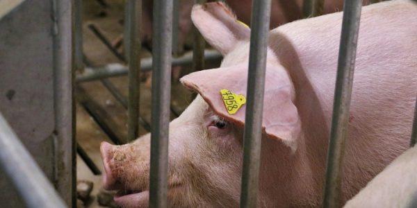 В Краснодарском крае поголовье свиней с начала года выросло на 13,4 тыс.